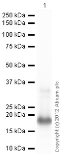 Western blot - Anti-Midkine antibody (ab36038)