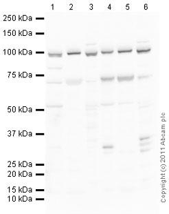 Western blot - Anti-VCP antibody (ab36047)