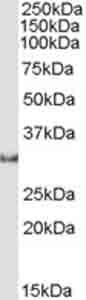 Western blot - Osteopontin antibody (ab36125)