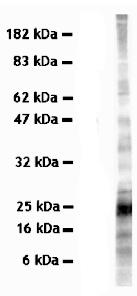 Western blot - SYBL1 antibody [158.2] (ab36195)