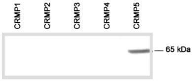 Western blot - CRMP5 antibody (ab36203)