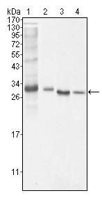 Western blot - Bcl10 antibody [4F8E8H8] (ab36585)