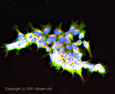 Immunocytochemistry/ Immunofluorescence-SCRIBBLE antibody(ab36708)