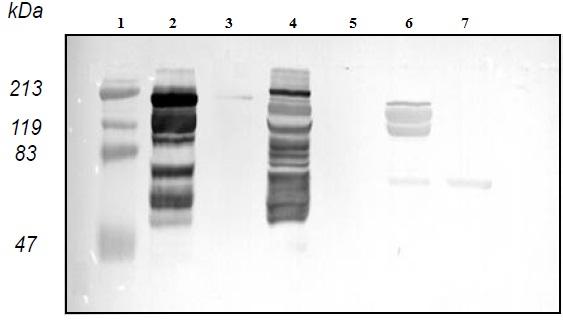 Western blot - Anti-Vitellogenin antibody (ab36877)