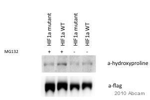 Western blot - Anti-Hydroxyproline antibody (ab37067)