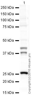 Western blot - Cathepsin K antibody [3F9] - Azide free (ab37259)
