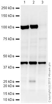 Western blot - Anti-macroH2A.1 antibody - ChIP Grade (ab37264)
