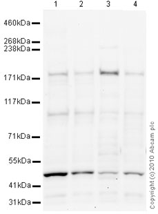 Western blot - BCL9 antibody (ab37305)