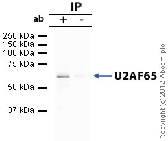 Immunoprecipitation - Anti-U2AF65 antibody (ab37530)