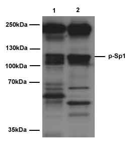 Western blot - SP1 (phospho T453) antibody (ab37707)