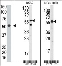Western blot - Siglec 7 antibody (ab38574)