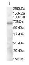 Western blot - DEF6 antibody (ab38747)