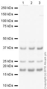Western blot - MAGOH antibody (ab38768)