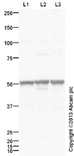 Western blot - Anti-GLP1R antibody (ab39072)
