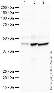 Western blot - Semaphorin 3D antibody (ab39288)