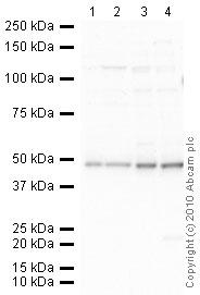 Western blot - Endothelin B Receptor antibody (ab39960)
