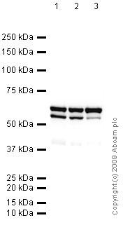 Western blot - hnRNP K antibody [3C2] (ab39975)