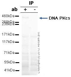 Immunoprecipitation - Anti-DNA PKcs antibody (ab39978)