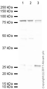 Western blot - Anti-Cytochrome P450 Reductase antibody (ab39995)