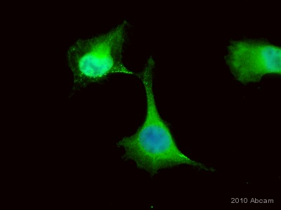 Immunocytochemistry/ Immunofluorescence - Anti-PKC gamma antibody (ab4144)