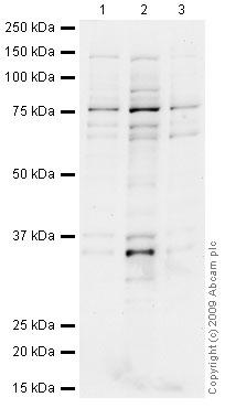 Western blot - CHFR antibody (ab4184)