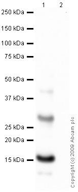 Western blot - Histone H2A.Z antibody [IC10] (ab4462)