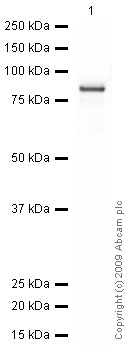 Western blot - EED antibody (ab4469)