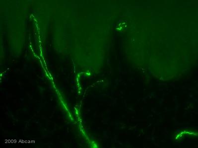 Immunohistochemistry (Frozen sections) - 200 kD Neurofilament Heavy antibody - Neuronal Marker (ab4680)