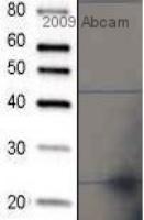 Western blot - Ran antibody (ab4781)