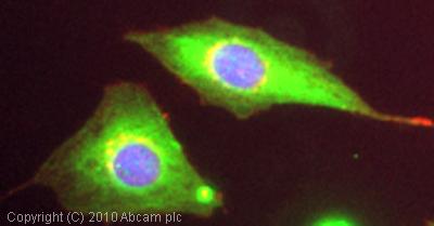 Immunocytochemistry/ Immunofluorescence - Seladin 1 antibody (ab40490)