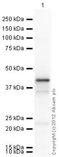 Western blot - Anti-PON2 antibody (ab40969)