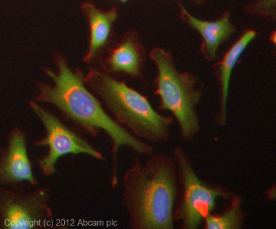Immunocytochemistry/ Immunofluorescence - Anti-PON2 antibody (ab40969)
