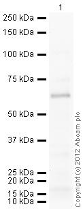 Western blot - Anti-HDAC1 antibody (ab41407)