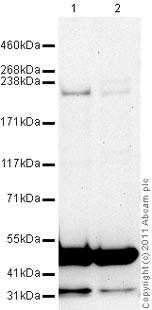 Western blot - Plexin A3 antibody (ab41564)