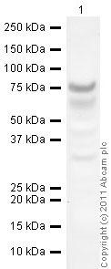 Western blot - HoxC6 antibody (ab41587)