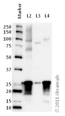 Western blot - Anti-SNAP25 antibody (ab41726)