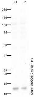Western blot - Bex1 antibody (ab41807)