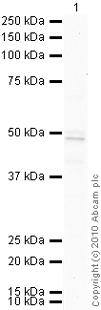 Western blot - COUP TF1 antibody [H8132] (ab41858)