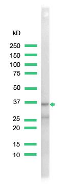 Western blot - CDX2 antibody (ab41871)
