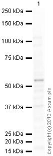 Western blot - Anti-HNF-4-alpha [K9218] antibody - ChIP Grade (ab41898)