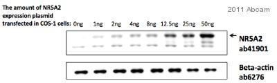 Western blot - NR5A2 / LRH1 antibody [H2325] (ab41901)