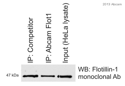 Immunoprecipitation - Anti-Flotillin 1 antibody (ab41927)