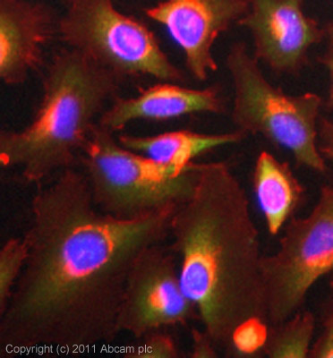 Immunocytochemistry/ Immunofluorescence - Anti-ERp29 antibody (ab42002)