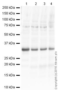 Western blot - 14-3-3 epsilon antibody - Aminoterminal end (ab43057)