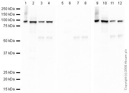 Western blot - c-Fos (phospho T232) antibody (ab43175)
