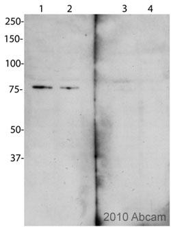 Western blot - Cenexin1/ODF2 antibody (ab43840)