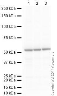 Western blot - Tubulin antibody [DM1A +DM1B] (ab44928)
