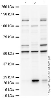 Western blot - Anti-PDCD4 antibody (ab45124)