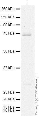 Western blot - Prostaglandin E Receptor EP4 antibody (ab45295)
