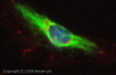 Immunocytochemistry/ Immunofluorescence - Prostaglandin E Receptor EP4 antibody (ab45295)